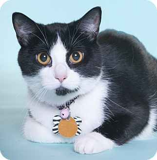 Domestic Shorthair Cat for adoption in Chicago, Illinois - Turvy
