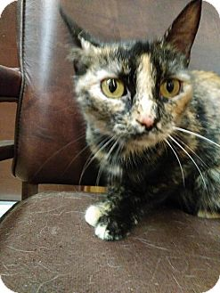 American Shorthair Cat for adoption in Shelbyville, Tennessee - Ali