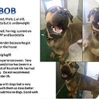 Bullmastiff/Rottweiler Mix Dog for adoption in CASCADE, Wisconsin - Bob