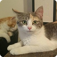 Domestic Shorthair Cat for adoption in Des Moines, Iowa - PENNY LANE