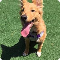 Adopt A Pet :: Luna - Lomita, CA