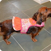 Adopt A Pet :: Snickers Cinnamon - Pearland, TX