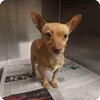 Adopt A Pet :: Penelope - Encino, CA