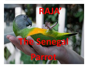 Parrot - Other for adoption in Vancouver, Washington - RAJA The Senegal Parrot