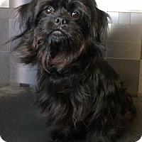 Shih Tzu/Standard Schnauzer Mix Dog for adoption in McKinney, Texas - Harrison
