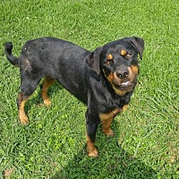 Rottweiler Dog for adoption in Baton Rouge, Louisiana - Abita