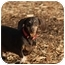 Photo 3 - Dachshund Dog for adoption in Ft. Myers, Florida - Brownie
