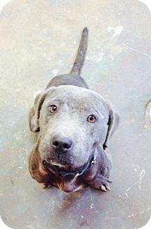 American Staffordshire Terrier Mix Dog for adoption in Hazlehurst, Georgia - Bonnie Blue