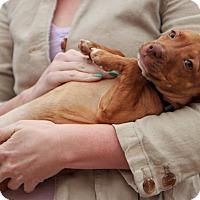 Adopt A Pet :: Huck - Reisterstown, MD