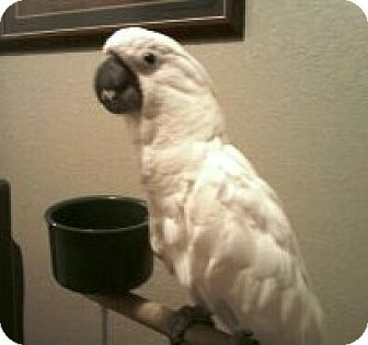 Cockatoo for adoption in Lenexa, Kansas - Tia
