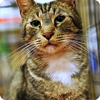 Domestic Shorthair Cat for adoption in Tustin, California - Boots