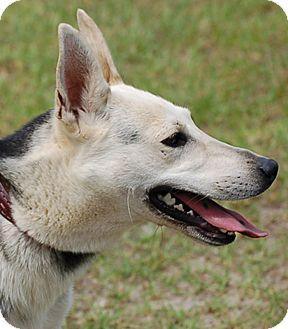 German Shepherd Dog Dog for adoption in Preston, Connecticut - Hope AD 12-03-16