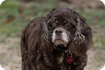 Cocker Spaniel Dog for adoption in Tallahassee, Florida - Sarah