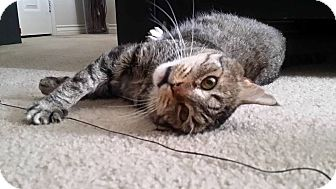 Domestic Shorthair Cat for adoption in Chino Hills, California - Chief (the perfect companion!)