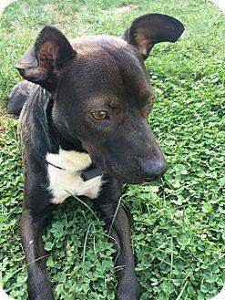 Labrador Retriever Mix Dog for adoption in Franklinville, New Jersey - Rosco