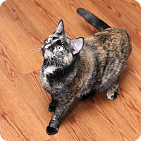 Domestic Shorthair Cat for adoption in Des Moines, Iowa - Rochelle