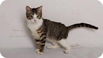 Siberian Kitten for adoption in Corona, California - Barbossa
