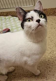Domestic Shorthair Cat for adoption in Toledo, Ohio - Elsa
