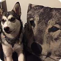 Adopt A Pet :: Boo - Pitt Meadows, BC