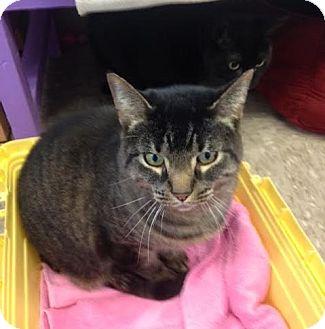 Domestic Shorthair Cat for adoption in Byron Center, Michigan - Dakota