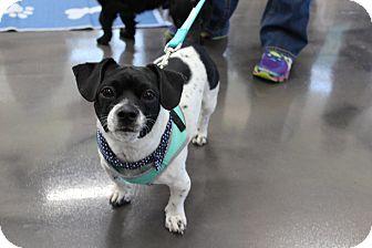 Dachshund/Terrier (Unknown Type, Medium) Mix Dog for adoption in joliet, Illinois - JoJo