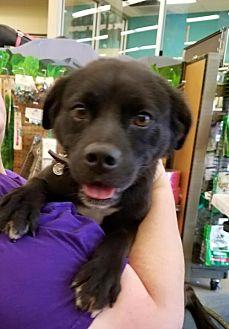 Labrador Retriever Mix Dog for adoption in Sunset, Louisiana - Bran REDUCED FEE!