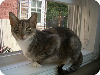 Domestic Shorthair Cat for adoption in Chicago, Illinois - Veronica
