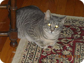 Colorpoint Shorthair Cat for adoption in Riverside, Rhode Island - Ace