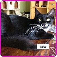 Domestic Mediumhair Cat for adoption in Miami, Florida - Leila