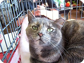 Domestic Shorthair Cat for adoption in Jersey City, New Jersey - Jackie O