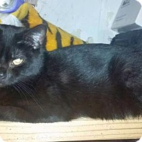 Domestic Shorthair Cat for adoption in Woodbury, New Jersey - Kocuom