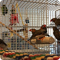 Adopt A Pet :: 6 Young Finches - Punta Gorda, FL