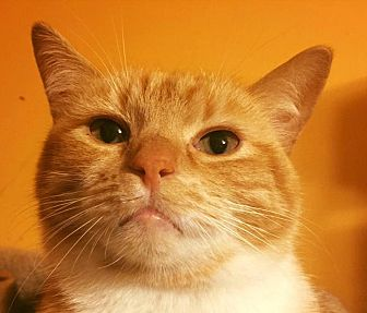 Domestic Shorthair Cat for adoption in Burlington, North Carolina - AUGUSTA