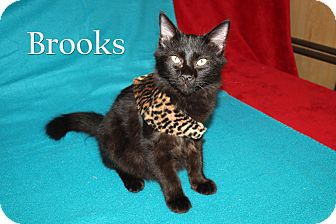 Domestic Mediumhair Kitten for adoption in Jackson, Mississippi - Brooks