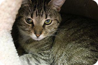 Domestic Shorthair Cat for adoption in Medina, Ohio - Ruby