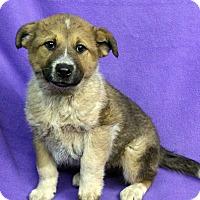 Adopt A Pet :: BAILEY - Westminster, CO
