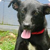 Adopt A Pet :: Saddie - Randleman, NC
