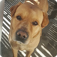 Adopt A Pet :: Shug Coming Soon! - Hawk Point, MO