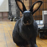 Adopt A Pet :: Darkwing - Pine Bush, NY
