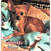 Adopt A Pet :: Pippa - Queen Creek, AZ