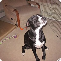 Adopt A Pet :: Godiva - Brattleboro, VT
