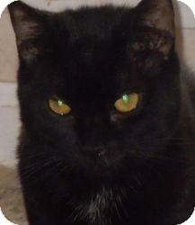 Domestic Shorthair Cat for adoption in Jacksonville, North Carolina - Zeus