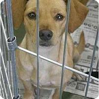 Adopt A Pet :: Mandy - Fowler, CA