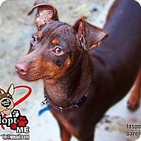 Adopt A Pet :: Jasper JASPER - Huntington Beach, CA