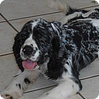 Adopt A Pet :: Quincy - Sugarland, TX