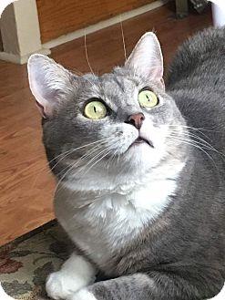 Domestic Shorthair Cat for adoption in Horsham, Pennsylvania - Ranya & Roxy