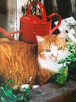 Domestic Shorthair Cat for adoption in Walnut Creek, California - Sundance