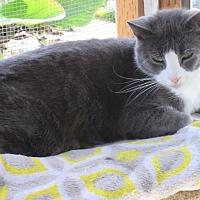 Domestic Shorthair Cat for adoption in Coos Bay, Oregon - John Cougar