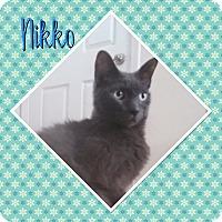Domestic Shorthair Cat for adoption in Cedar Springs, Michigan - Nikko