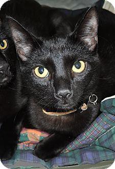 Bombay Kitten for adoption in Garland, Texas - Charlie Brown (#1)
